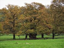 Oak trees with autumn leaves, Ripley, North Yorkshire, UK. Oak trees with autumn leaves in the grounds of Ripley Castle, North Yorkshire, England royalty free stock photos