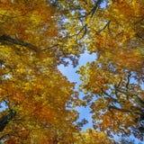 Oak trees in autumn Stock Photography