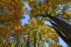 Oak trees in autumn Stock Image