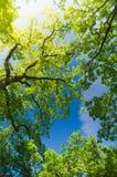 Oak trees from below under blue sky Stock Images