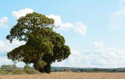 Oak trees border a wheat field in Kent Stock Photo