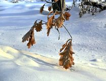 Oak trees branches and last orange leaves covered snow after snowfall. Oak trees growing in nature in winter. The branches and the last orange leaves covered Stock Image