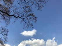 Oak trees with bright blue sky and fluffy white clouds in natural day light. At Shinjuku park, Japan Royalty Free Stock Image