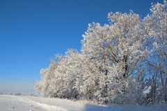 Oak Trees Covered With Snow Royalty Free Stock Photos
