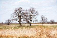 Oak trees in the field Royalty Free Stock Images
