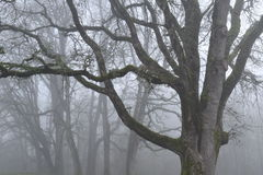 Oak trees in fog. Mossy oak trees on a foggy day Stock Photo