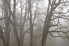 Oak trees in fog. Mossy oak trees on a foggy day Royalty Free Stock Photography