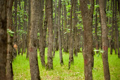 Oak trees forest Royalty Free Stock Photo