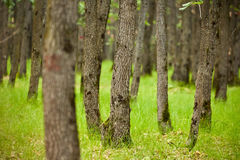 Oak trees forest Stock Photo