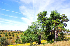 Oak trees in forest at Portugal. Stock Images