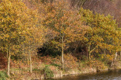 Oak trees in full autumn color at Teggs Nose Country Park on the Royalty Free Stock Images