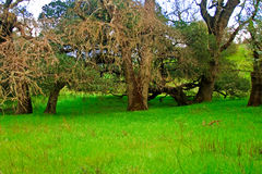 Oak Trees in grassy glade Royalty Free Stock Photography