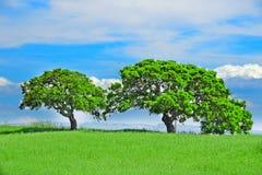 Oak trees in a green field Royalty Free Stock Photos