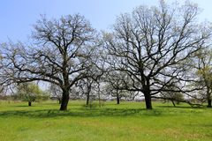 Oak trees on green meadow Royalty Free Stock Images