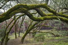Oak trees with green moss Stock Photography