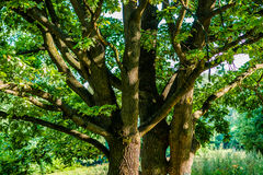 Oak trees Royalty Free Stock Photography