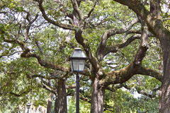 Oak Trees. The oak trees in the historic district in Savannah, Georgia are truly glorious Royalty Free Stock Photo