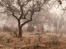 Free Oak Trees In Winter Fog Stock Image - 36285121