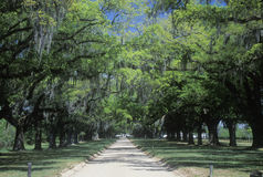 Oak trees lining a plantation road Royalty Free Stock Photography