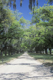 Oak trees lining a plantation road Stock Photo