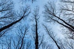 Oak trees Royalty Free Stock Image