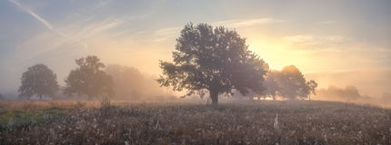 Oak trees on meadow in foggy morning Stock Photo
