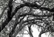 Oak trees with moss on branches. Oak trees with moss hanging down from limbs and curvy gnarled branches black and white Stock Photography