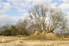 Oak trees. Stock Photos