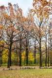Oak trees near meadow in urban park in autumn. Oak trees near meadow in urban Timiryazevskiy park in Moscow city in autumn Stock Image