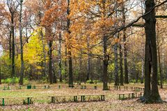 Oaks near recreation area in urban park in autumn. Oak trees near recreation area in urban Timiryazevskiy park in Moscow city in autumn Royalty Free Stock Photo