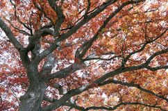 Fall colours in Ontario Canada giant oak trees royalty free stock photo