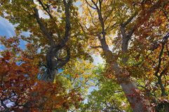 Fall colours in Ontario Canada giant oak trees stock images