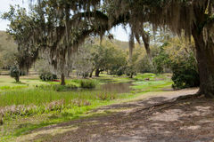 Oak Trees over the Bayou. Old oak trees filled with moss along a bayou Royalty Free Stock Images