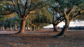 Louisiana Oak Trees. Oak trees at a park in South Louisiana Royalty Free Stock Image