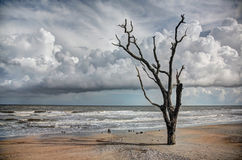 Oak trees in sand at coast Stock Images