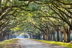 Oak Trees in Savannah Stock Image