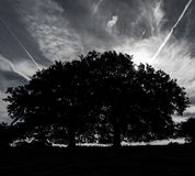 Oak Trees Silhouette Stock Image