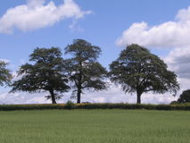 Oak Trees on skyline Royalty Free Stock Photography