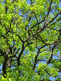 Oak trees Royalty Free Stock Photos