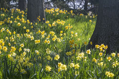 Oak Trees and Spellbinder Daffodils Stock Photo