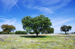 Oak trees on spring Royalty Free Stock Photos