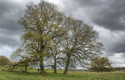 Oak Trees in Spring royalty free stock photos