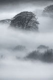 Oak Trees in thick fog Stock Photo