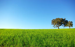 Oak trees in a wheat field. Royalty Free Stock Photos