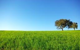 Oak trees in a wheat field. Royalty Free Stock Photos