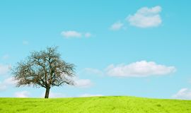 Oak trees in a wheat field Stock Photos