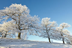 Oak trees in winter Royalty Free Stock Images