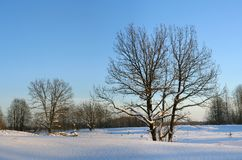 Oak trees in winter. Oaks and lindens in a river flood plain in cold january day stock images