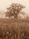 Oak trees in winter fog. White oak trees in a winter woods on a foggy day Royalty Free Stock Images