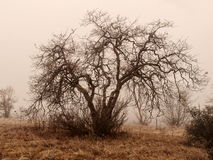 Oak trees in winter fog. White oak trees in a winter woods on a foggy day Royalty Free Stock Photos